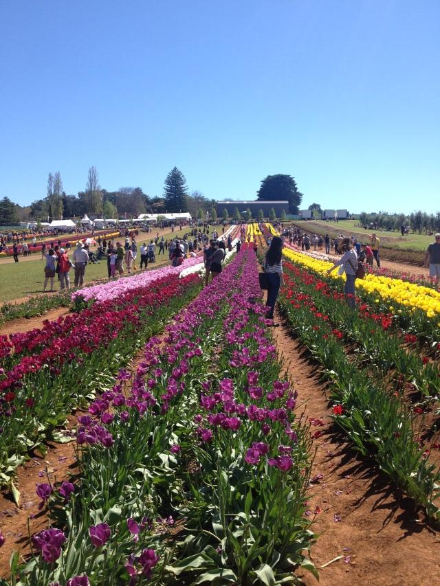 tulips at the Tulip Festival Melbourne